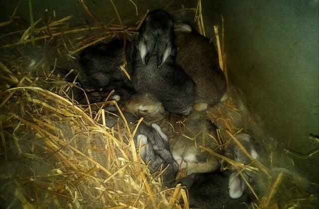 Κουνελάκια 2-3 εβδομάδων μέσα σε μεταλλική φωλιά