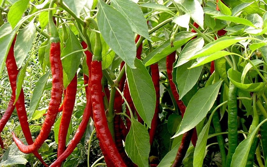 πιπέρι καγιέν φυτό