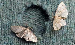 clothes-moths-on-sweater-008