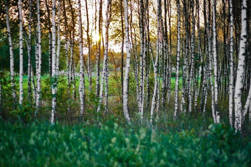 δέντρα σημύδας