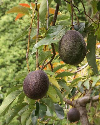 800px-Persea_americana_fruit_2