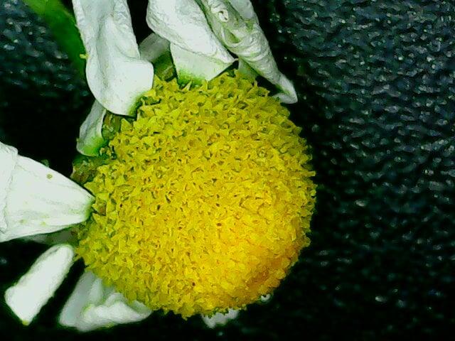 χαμομήλι στο μικροσκόπιο