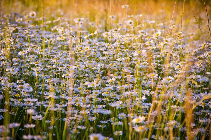 άγριο χαμομήλι σε χέρσο χωράφι