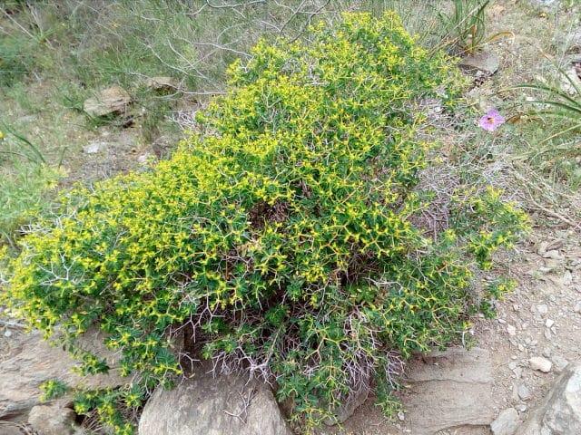 φυτό αφάνα